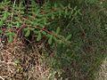H20130318-7054—Pellaea andromedifolia—Mitchell Canyon (8591814670).jpg