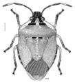 HEMI Pentatomidae Monteithiella humeralis.png