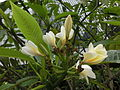 HK Admiralty Tamar Park tree leaves flowers 雞蛋花 Plumeria May-2013.JPG