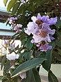 HK SSP 深水埗 Sham Shui Po 長沙灣道 Cheung Sha Wan Road 元州邨 Un Chau Estate 大葉紫微 purple flowers June 2020 SS2 10.jpg