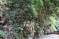 Habitat of Histiopteris incisa Yunomine Hot spring district B.jpg