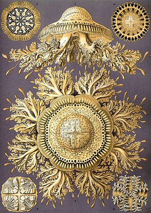 Discomedusae - Image: Haeckel Discomedusae 28