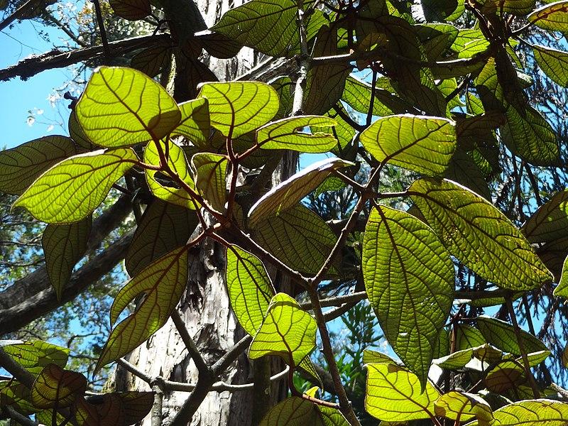 TÌNH YÊU CÂY CỎ  - Page 7 800px-Hakgale_botanical_garden_Actinodaphne_speciosa_2017-10-23_%2813%29