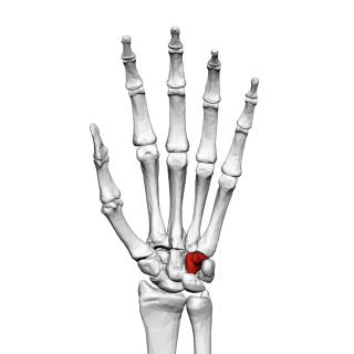 Hamate bone bone of the wrist