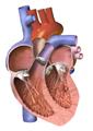 Heart X-sec.png