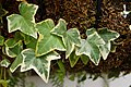 Hedera helix Leaves 3008px.jpg