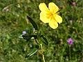 Helianthemum nummularium inflorescence (28).jpg