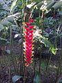 Heliconia rostrata4523.jpg