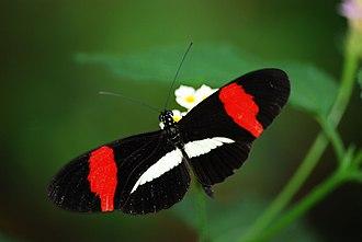Bornholm Butterfly Park - Image: Heliconius erato 001