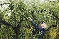 Helmer plukker epler Grythengen 2017.jpg