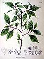 Helwingia ruseiflora SZ86.jpg