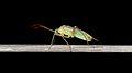 Hemipteran - Guelph, Ontario 12.jpg