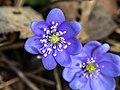 Hepatica nobilis 20140302.jpg