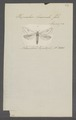Hepialus - Print - Iconographia Zoologica - Special Collections University of Amsterdam - UBAINV0274 055 07 0002.tif
