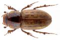 Heptaulacus sus (Herbst, 1783.png
