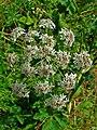 Heracleum sphondylium 002.JPG