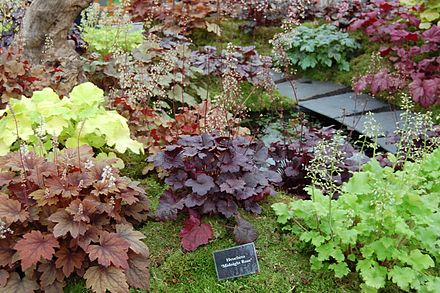 Heuchera cultivars at the BBC Gardeners' World show in June 2011, with 'Midnight Rose' in the center.