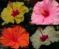 Hibiscus mix.jpg