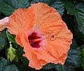 Hibiscus rosa-sinensis 'Mandarin Wind' Flower 2.JPG