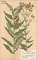 Hieracium sinoaestivum holotype.jpg