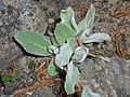 Hieracium tomentosum 2016-04-22 8803.JPG