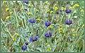 High Desert Wildflowers (146179509).jpeg