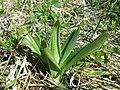 Himantoglossum adriaticum sl51.jpg