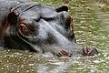 Hippo (Hippopotamus amphibius) (16598798600).jpg