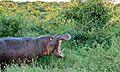 Hippo (Hippopotamus amphibius) (6021583345).jpg