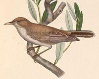 Hippolais olivetorum 1849.jpg