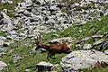 Hirsche fürstkar 1339 13-07-13.JPG
