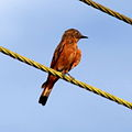 Hirundinea ferruginea Cliff Flycatcher.JPG