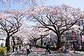Hitachi Sakura Festival, Ibaraki 09.jpg