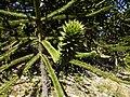Hojas y ramas de pehuén (Araucaria araucana). Icalma, Región de La Araucanía, Chile.jpg
