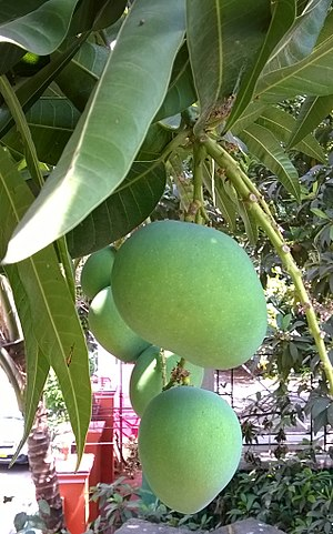Mango - Nature