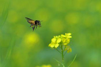 Honey hunter.jpg