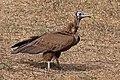 Hooded vulture (Necrosyrtes monachus) juvenile.jpg