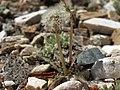 Horned dandelion, Taraxacum ceratophorum (28051524528).jpg