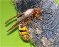 Hornisse (Vespa crabro) 02.jpng.png