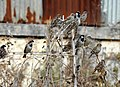House Sparrow Passer domesticus flock by Raju Kasambe DSCN2160 (1) 08.jpg