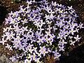 Houstonia caerulea 'Millard's Variety' 4.JPG