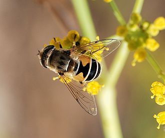 Eristalis - Image: Hoverfly August 2007 9