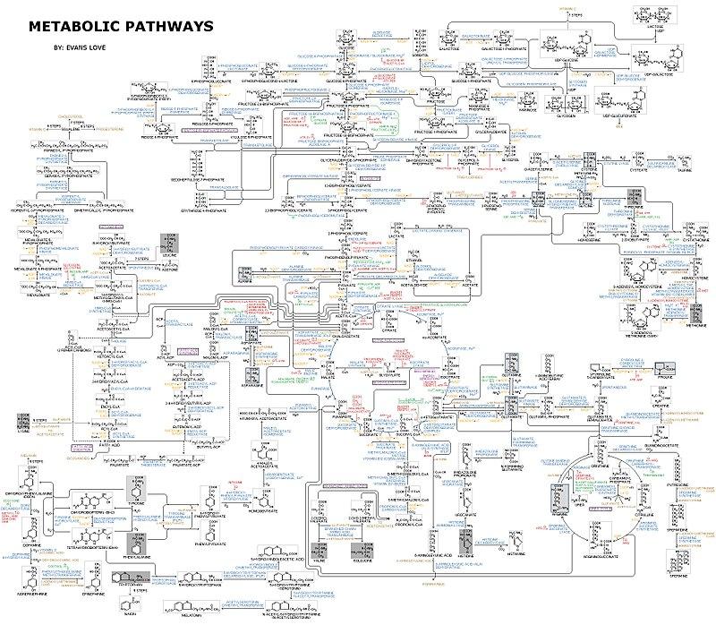 Human Metabolism - Pathways.jpg