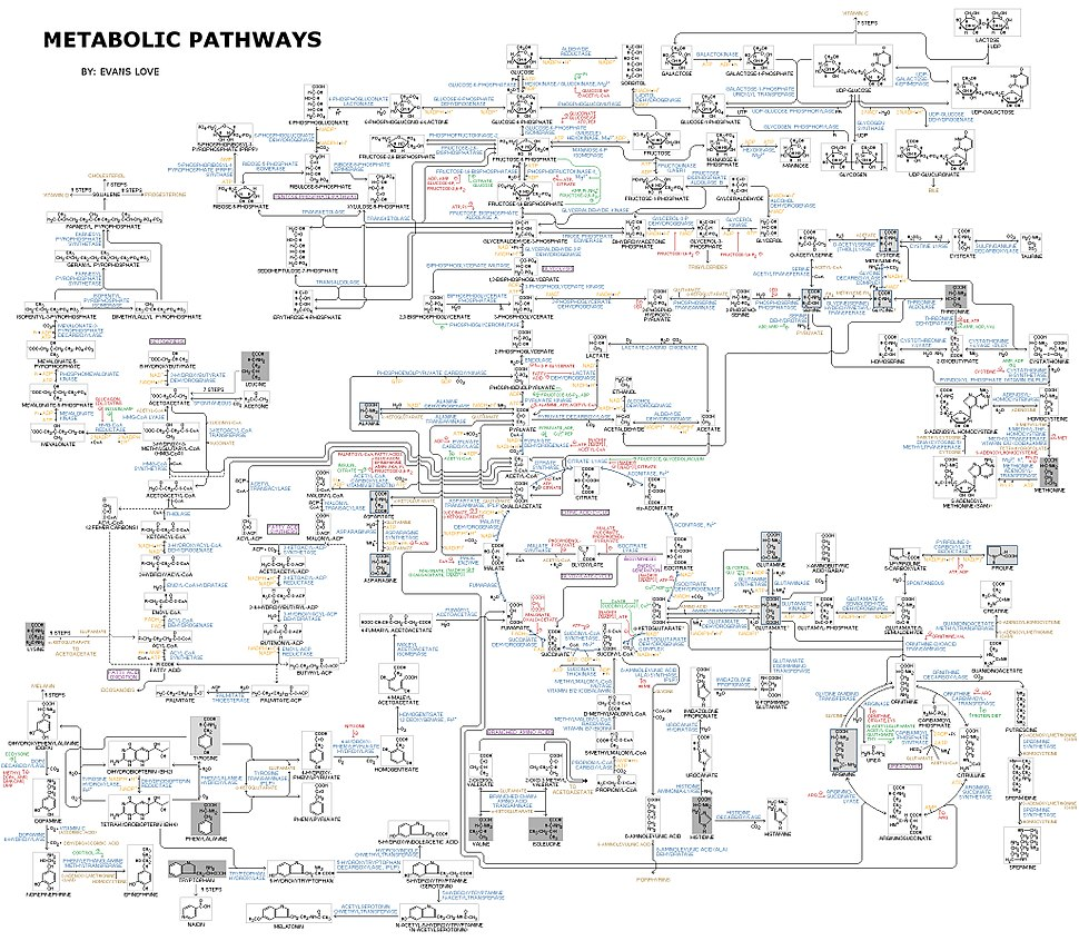Human Metabolism - Pathways