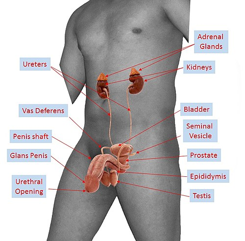 photo of male sex organs