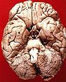 Human brain inferior view description 2.JPG