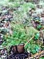 Humaria hemisphaerica 95761215.jpg