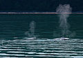 Humpback Mother and Calf (3725346382).jpg