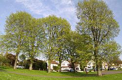 Huntingdon elm.jpg