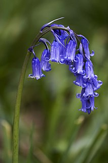<i>Hyacinthoides non-scripta</i> species of plant